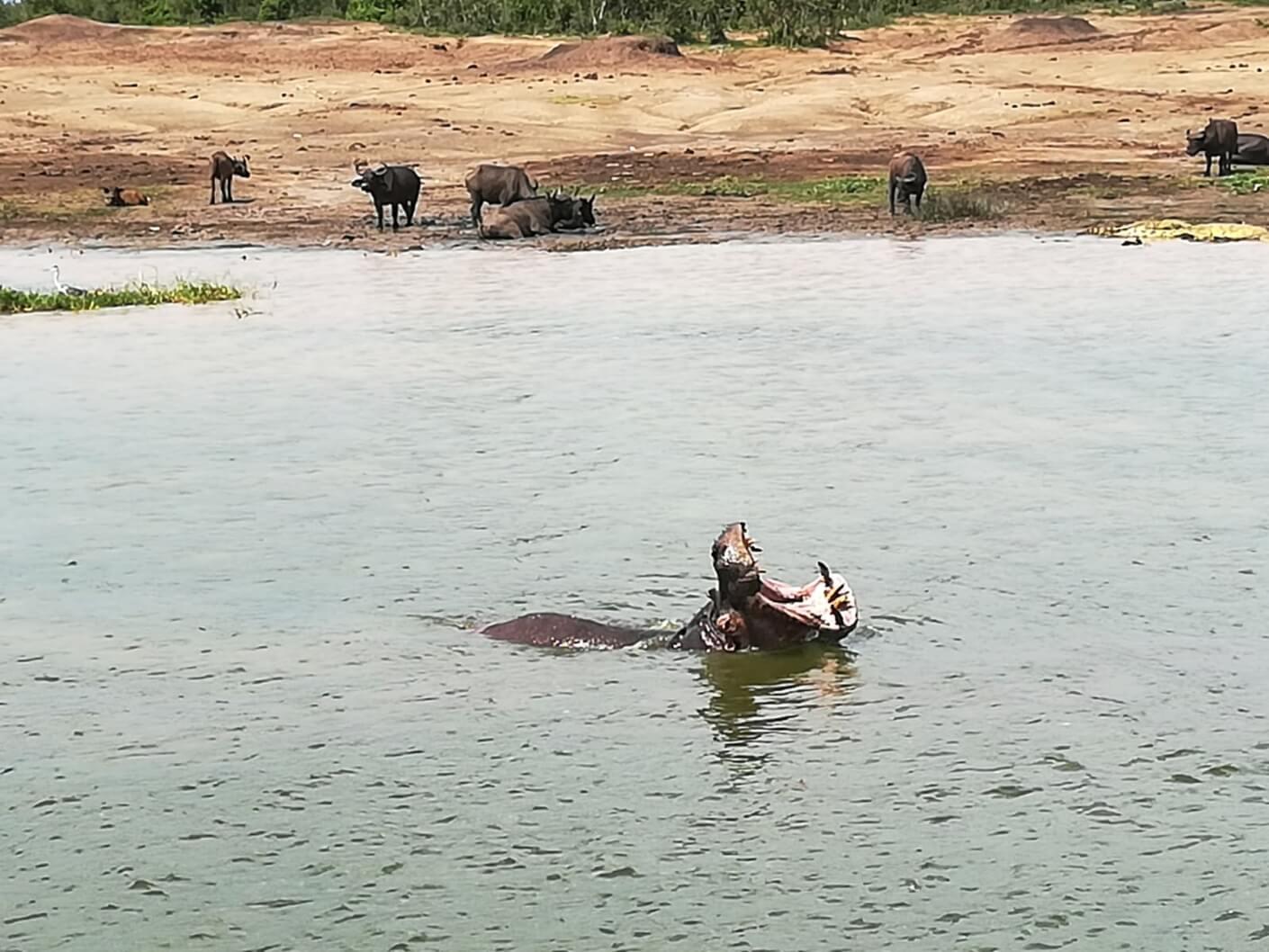 hippopotamus in the water