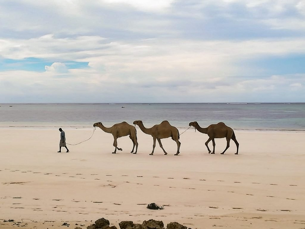 3 camels and a man walking on a beach