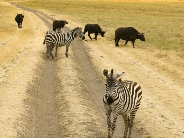 Zebras and bisons on the road in Africa