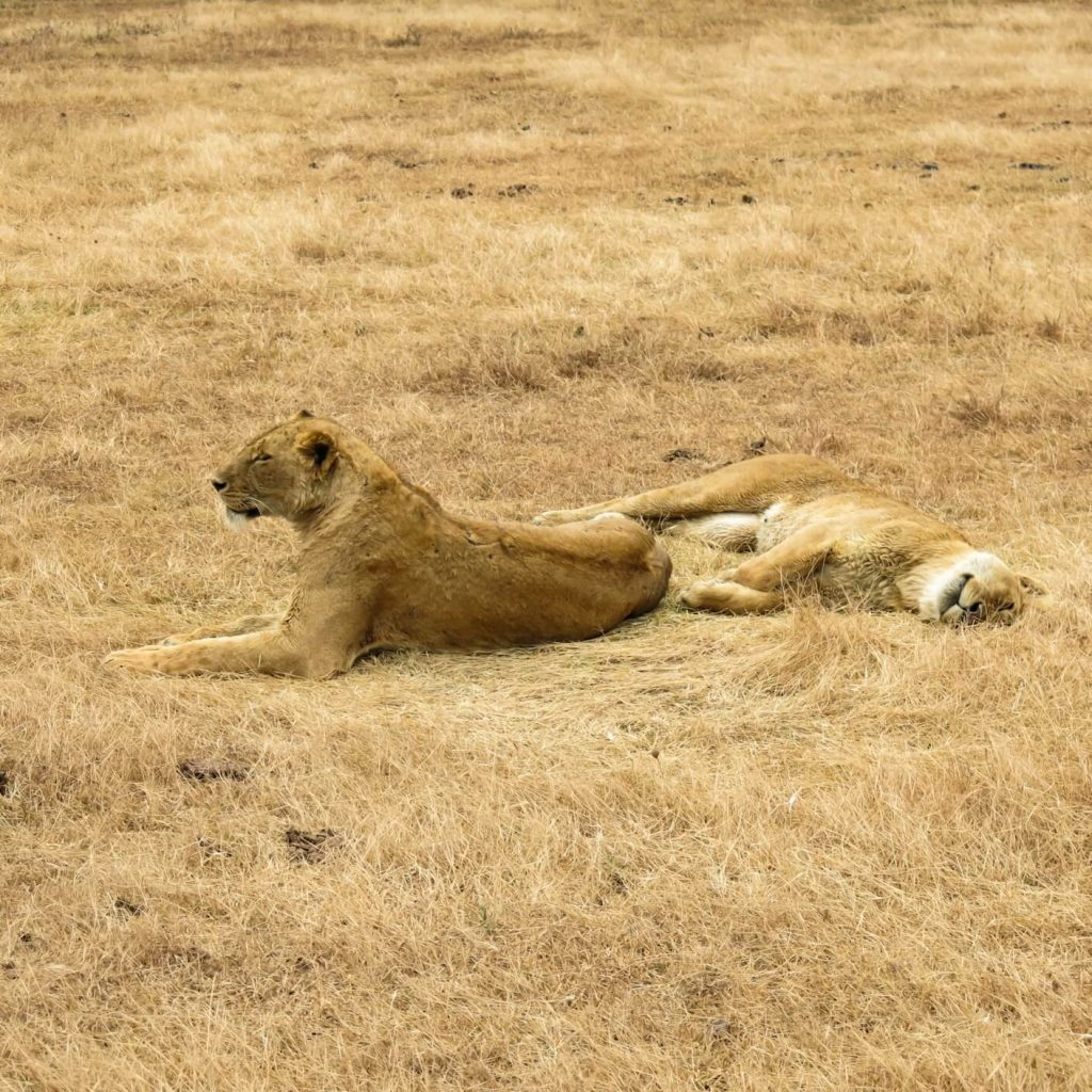 2 lionesses in grass