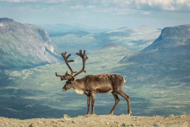 Reindeer in Jotunheimen National Park